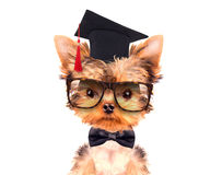 Graduated dog Royalty Free Stock Photography