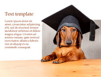 Graduated student at the table with text area. On white background royalty free stock photos