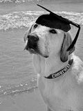 Graduating Pooch Stock Image