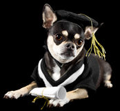 Graduation Dog. Cute chihuahua dressed in cap and gown for graduation. On black background Stock Photos