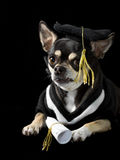 Graduation Dog. Cute chihuahua in cap and gown for graduation. On black background Stock Images