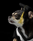 Graduation Dog Close Up Profile View. Cute chihuahua in cap and gown for graduation. Side profile view. On black background Royalty Free Stock Images
