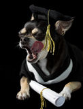 Graduation Dog Licking Face. Cute chihuahua in cap and gown for graduation. On black background Royalty Free Stock Images