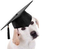 Graduation Graduate Dog. Graduation graduate puppy dog in cap royalty free stock photo
