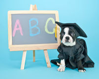 Graduation Puppy Royalty Free Stock Photography