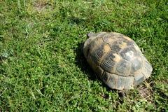 Graeca de Testudo - tortue Image libre de droits