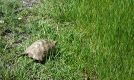 Graeca Testudo - черепаха Стоковое Изображение RF