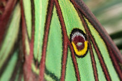 graellsia isabellae skrzydło Fotografia Royalty Free