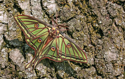 Graellsia Isabellae (Spanish Moon Moth) Royalty Free Stock Image