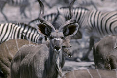 Graeter kudu Royalty Free Stock Photography