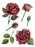 Graf_lab_red_roses_watercolor_hand-painted stock illustrationer
