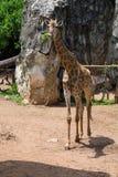 Graffe z zebrami w Dusit zoo, Bangkok zdjęcie stock