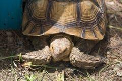 Graffiare della tartaruga Fotografie Stock