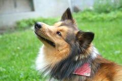 graffio del cane Immagini Stock
