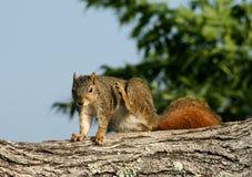 Graffio dello scoiattolo Immagini Stock