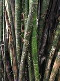 Graffiti bambus, Campinas park, Sao Paulo gapienie Brazylia Zdjęcie Royalty Free