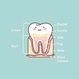Grafico di anatomia del dente del fumetto Immagini Stock