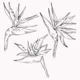 Graficzna strelitzia kolekcja Wektorowy egzot opuszcza na białym tle i kwiaty odizolowywający Kolorystyki książki strona dla ilustracji