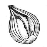 Graficzny cebulkowy dotwork royalty ilustracja