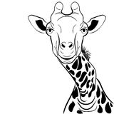 Graficzny wizerunek żyrafy głowy atramentu nakreślenie Zdjęcie Stock