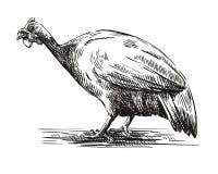 Graficzny wizerunek gwinei ptactwo na białym tle royalty ilustracja