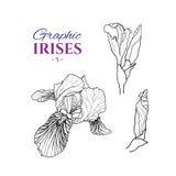 Grafische illustratie van irissen Royalty-vrije Stock Fotografie