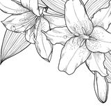 Grafiska svartvita liljor. Garnering på en wh stock illustrationer
