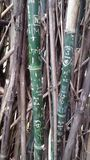 Grafittis de bambu Foto de Stock