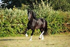 Grafschafts-Pferd auf Abendwiese lizenzfreies stockfoto