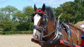 Grafschafts-Pferd an einer Land-Show Lizenzfreie Stockfotos