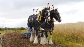 Grafschafts-Pferde an einem Land zeigen in Großbritannien Stockfotografie