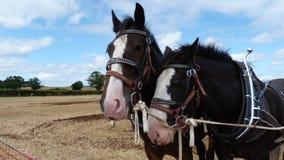 Grafschafts-Pferde an einer Land-Show Stockfotos
