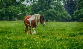 Grafschaftspferd, das auf Minchinhampton-Common im Cotswolds weiden lässt; Gloucestershire lizenzfreie stockfotos