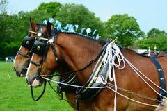 Grafschaftspferde Stockfotos