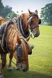 Grafschaftspferde auf dem sonnigen Gebiet, das ehrlich am Land stillsteht Stockfoto