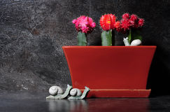 Grafted cactus in red, orange and pink colors Stock Images