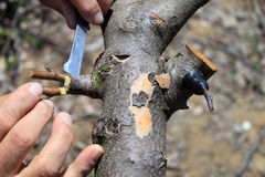 Gardener grafting fruit tree Stock Images