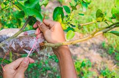 Grafting branch is lemon tree. Hands make Plant propagation in my farm Stock Photos