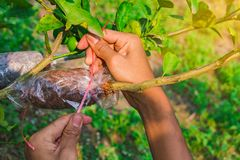 Grafting branch is lemon tree. Hands make Plant propagation in my farm Royalty Free Stock Images