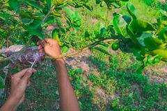 Grafting branch is lemon tree. Hands make Plant propagation in my farm Royalty Free Stock Photos