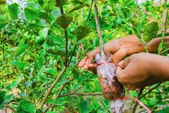 Grafting branch is lemon tree. Hands make Plant propagation in my farm Stock Images