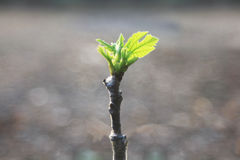 Grafting figs tree. Royalty Free Stock Images