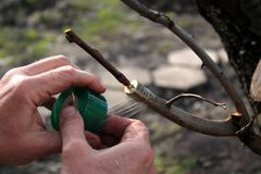 Grafting fruit tree in cleft using cuttings. Gardener uses grafting tape. Closeup. Grafting fruit tree in cleft using cuttings. Gardener wraps grafted place by Royalty Free Stock Photos