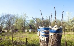 Grafting fruit tree. In an apple orchard in spring Royalty Free Stock Photos