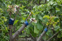 Grafting on fruit tree Stock Photos