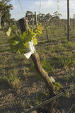 Grafting in grapevines. A Sauvignon Blanc scion is grafted to a rootstock in the Adelaide Hills wine region of Australia stock photos