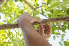 Grafting Lemon Trees Royalty Free Stock Photography