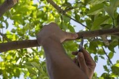 Grafting Lemon Trees Royalty Free Stock Image