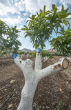 Grafting mango tree Stock Image