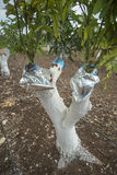 Grafting mango tree. In a field Royalty Free Stock Photos